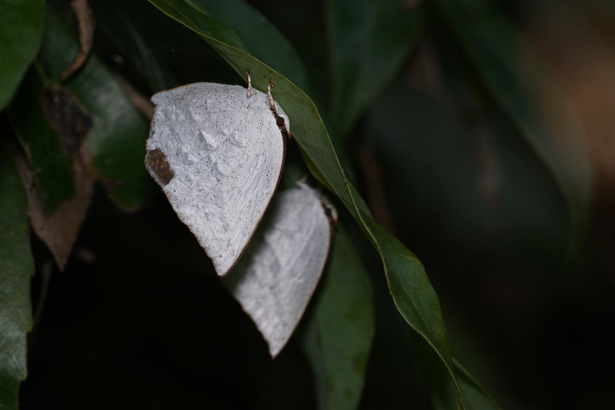 ウラギンシジミ(越冬個体)