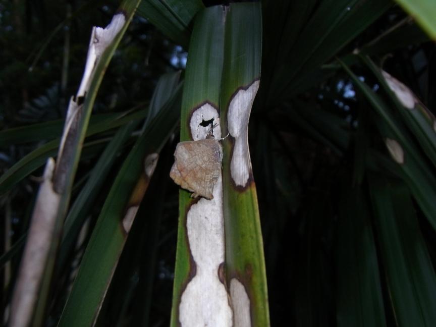 ムラサキツバメ(越冬個体K)
