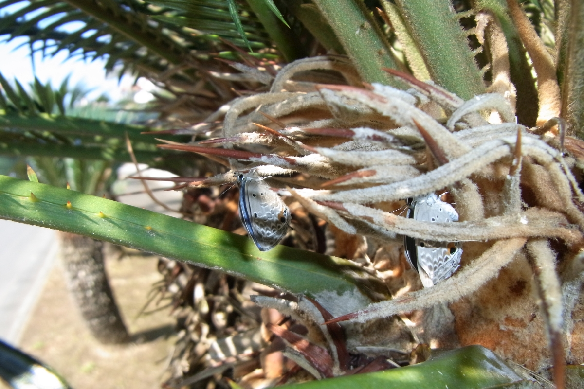 クロマダラソテツシジミ(羽化その3・その4)