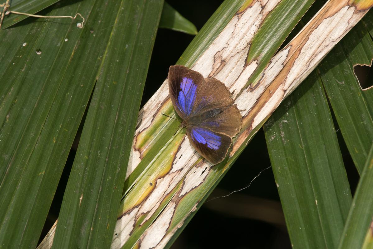 ムラサキツバメ♀開翅