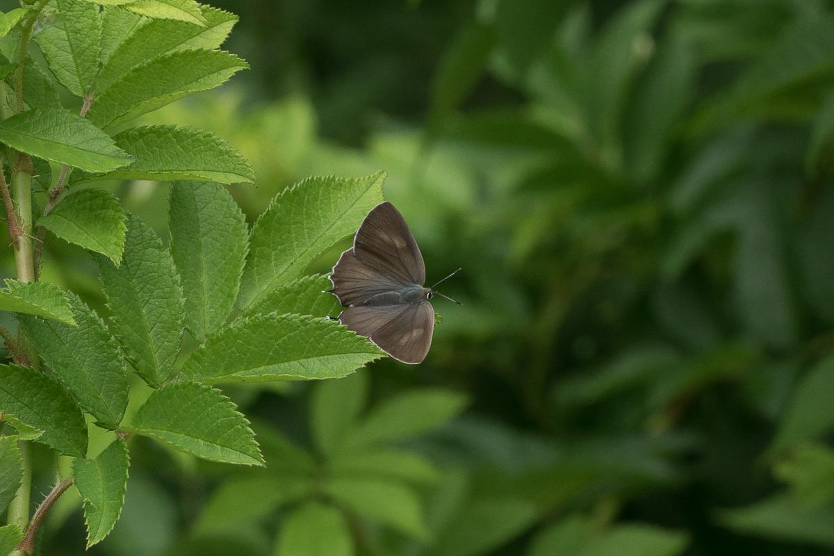 ミドリシジミ(♀開翅)
