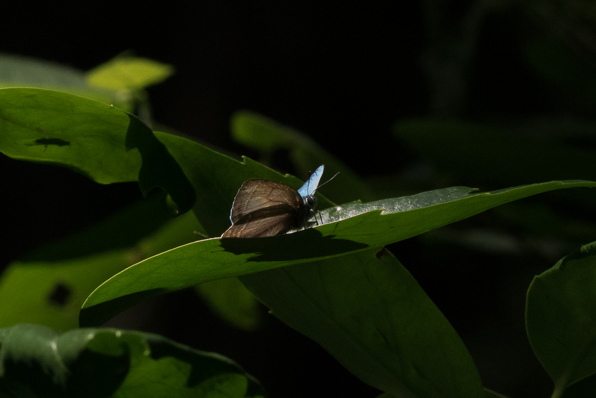 オオミドリシジミ