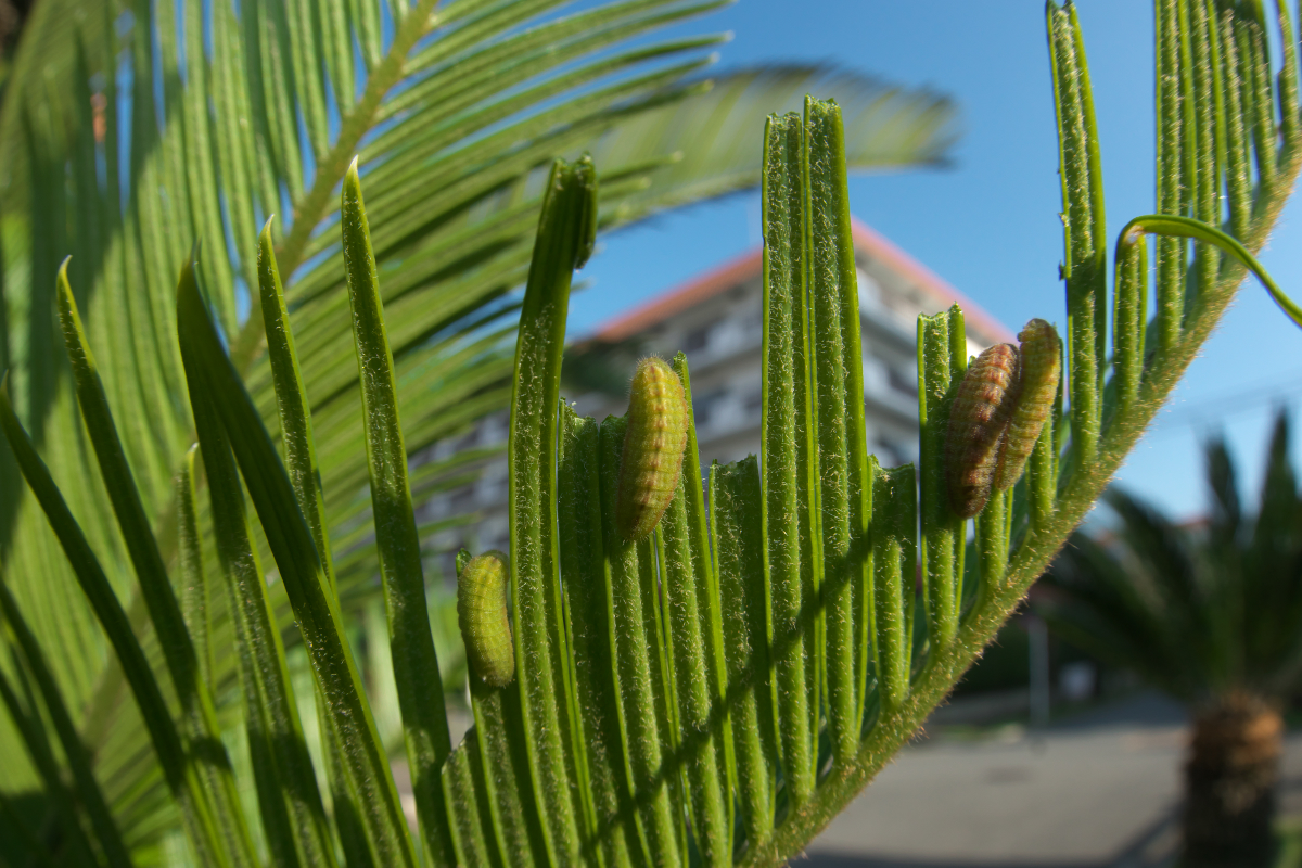 クロマダラソテツシジミ(幼虫)の写真