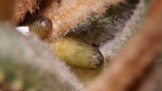 クロマダラソテツシジミ(蛹)の写真