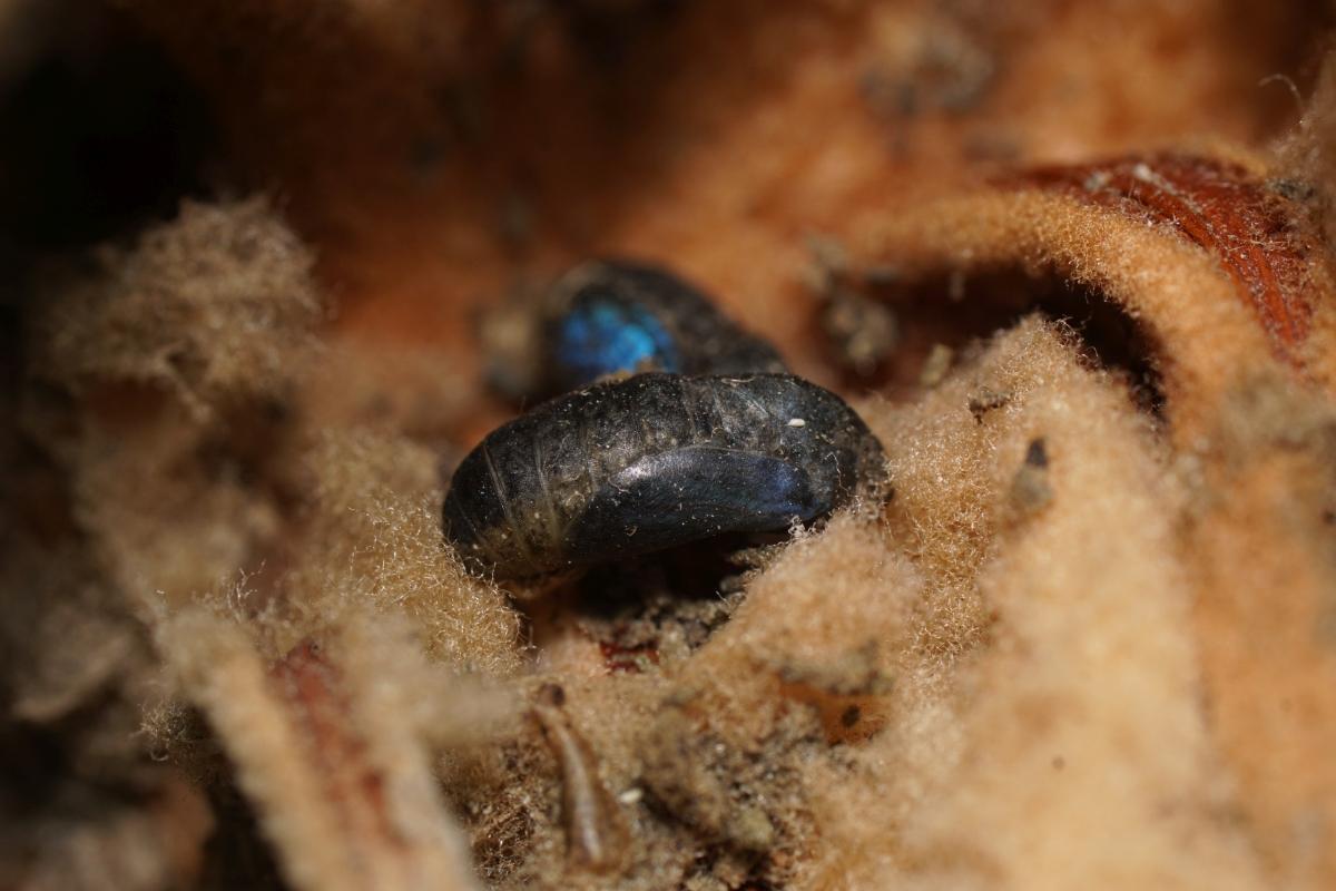 クロマダラソテツシジミ羽化直前蛹
