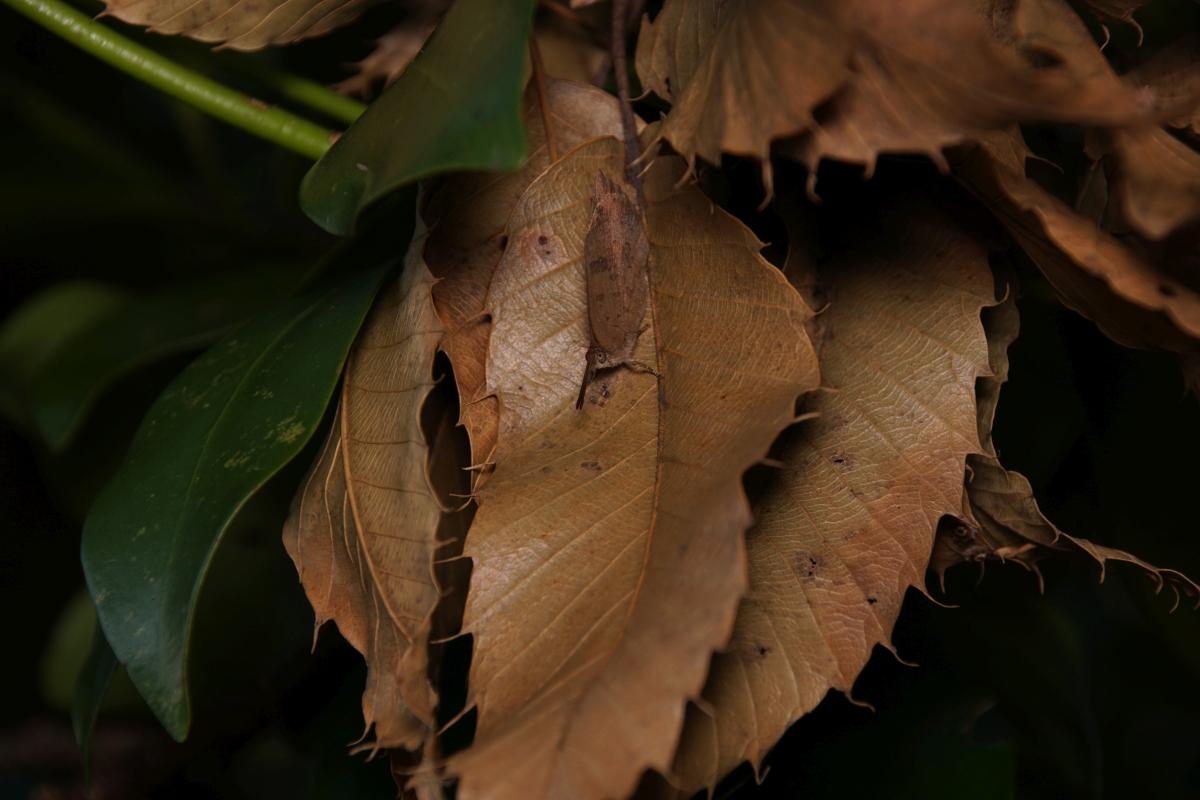 ムラサキシジミ(越冬個体)