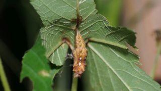 キタテハ蛹
