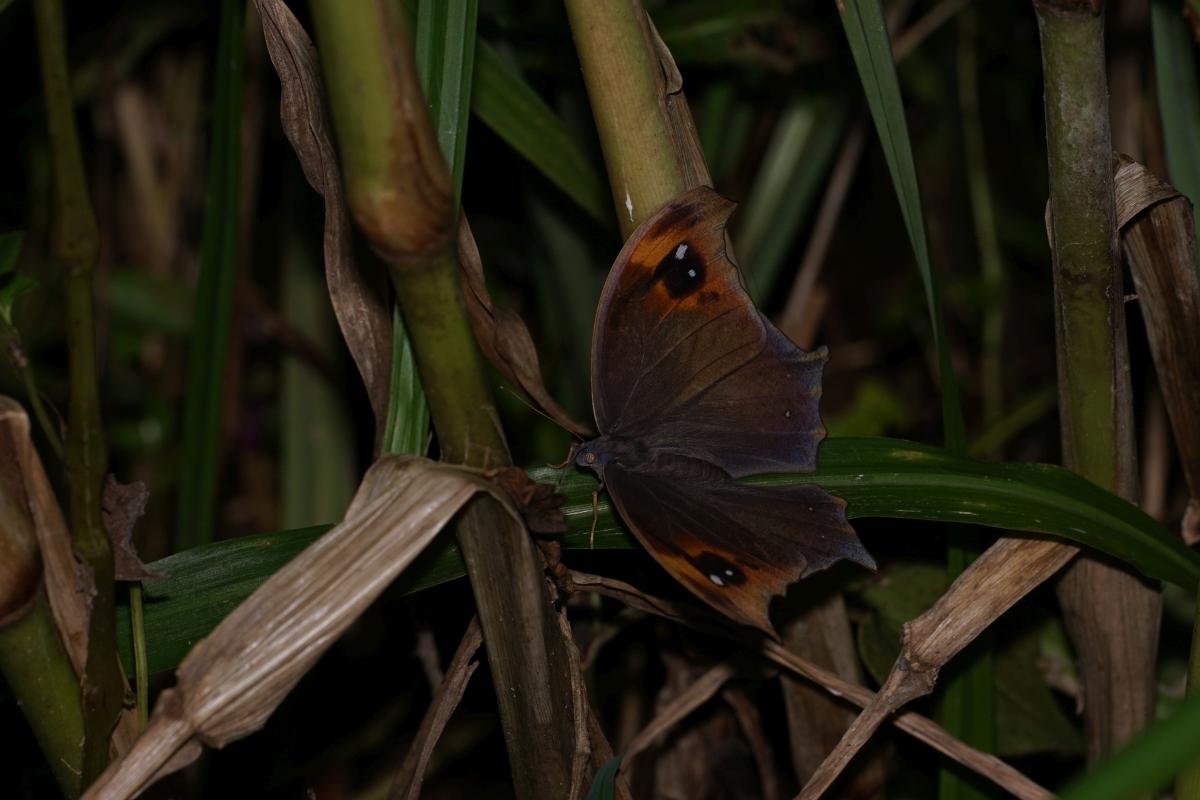 クロコノマチョウ(開翅)