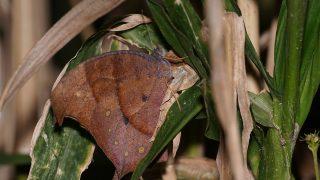 泉の森のクロコノマチョウ当日羽化個体
