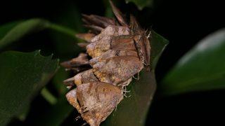 ムラサキツバメ越冬集団(推定21個体)の写真